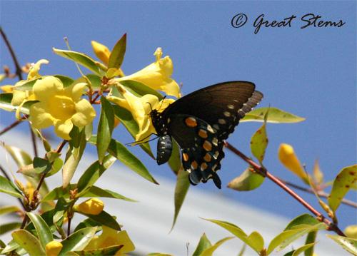 GSblackswallowtail03-17-11.jpg