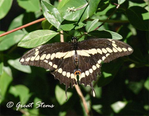 GSgiantswallowtail04-11.jpg
