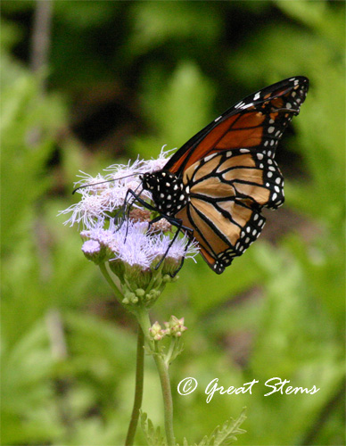 GSmonarchonmistflower05-17-11.jpg
