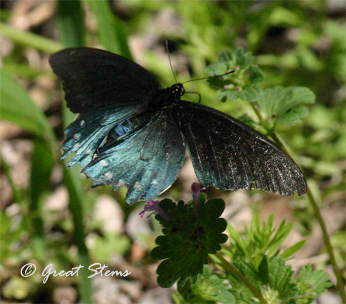 GSpipevineswallowtail03-17-11.jpg