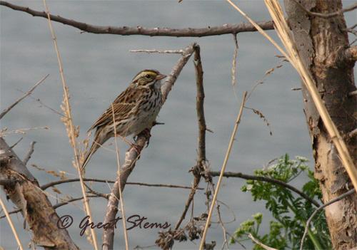 GSsavannahsparrow3-17-11.jpg