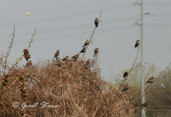 GSsparrows3-17-11.jpg