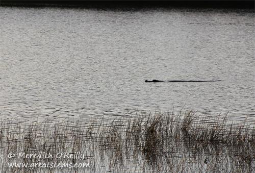 alligatora03-13-12.jpg