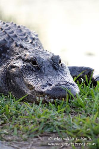 alligatoraa03-12-12.jpg