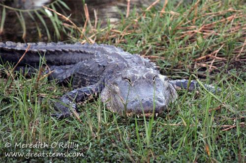 alligatorab03-12-12.jpg