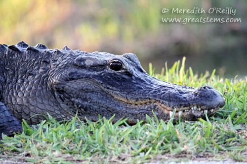 alligatorad03-12-12.jpg