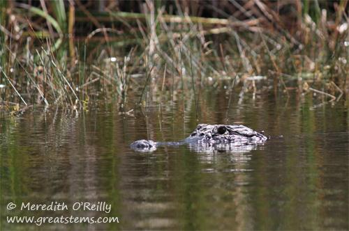 alligatorb03-13-12.jpg