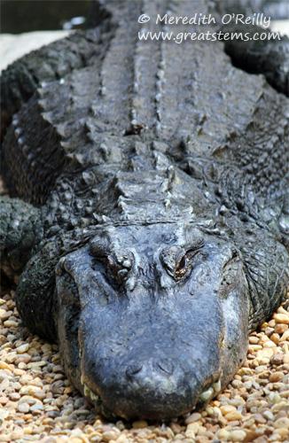 alligatorb03-16-12.jpg