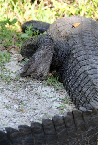 alligatore03-12-12.jpg