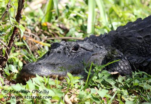 alligatorf03-12-12.jpg