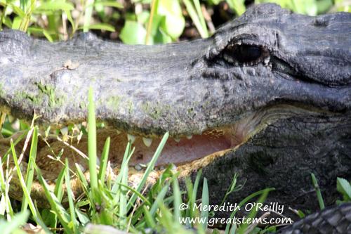 alligatormouth03-12-12.jpg