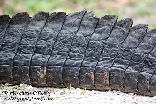 alligatortail03-12-12.jpg