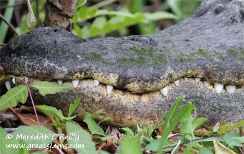 alligatorteeth03-12-12.jpg