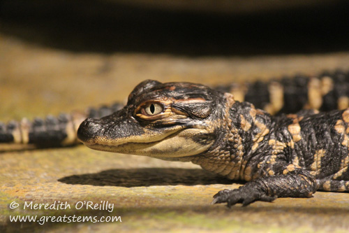 babyalligator03-16-12.jpg