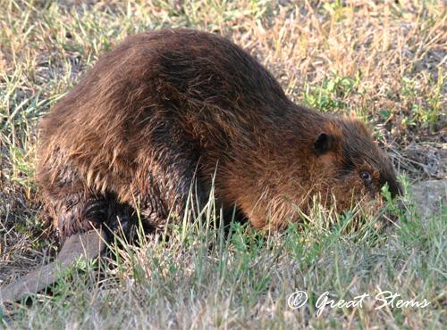 beaver07-11.jpg