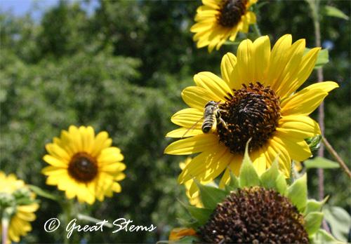 beesunflowerb06-20-11.jpg