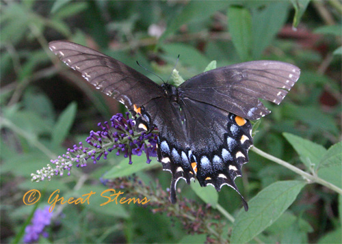 blackeasternb07-08-10.jpg