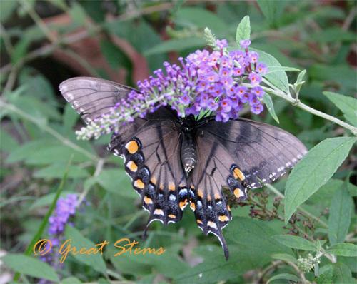 blackeasternd07-08-10.jpg