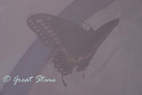 blackswallowtail06-13-10.jpg