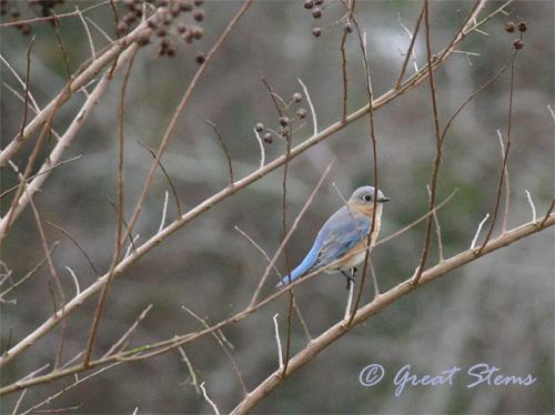 bluebird02-21-11.jpg