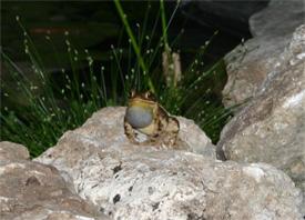 bull-toad1.jpg