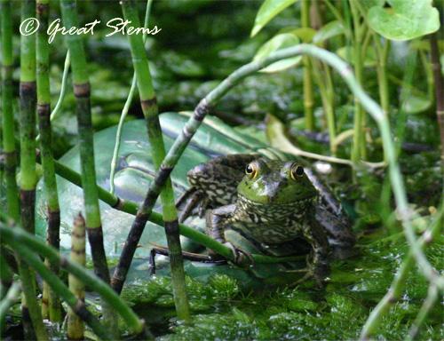 bullfrogb05-17-11.jpg
