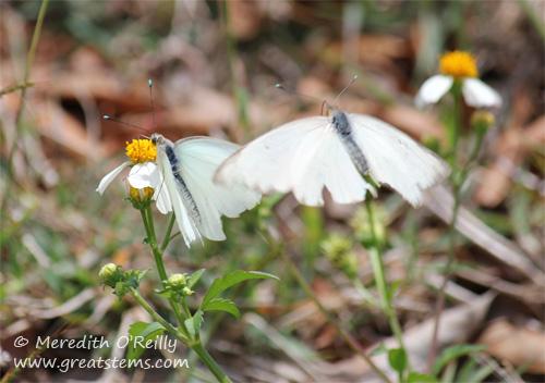 butterflies03-13-12.jpg