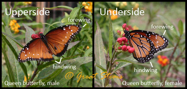 The Queen Queen Butterfly Vs Monarch