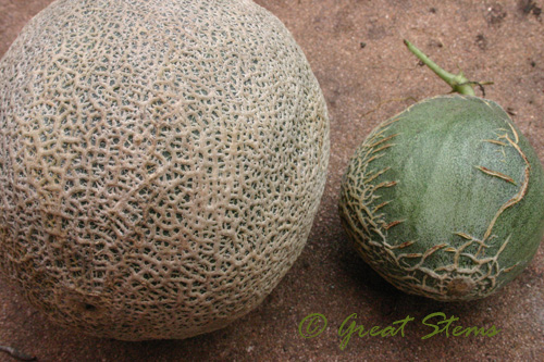 how to grow cantaloupe vancouver