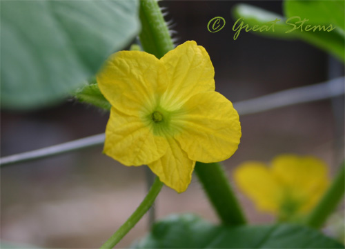 cantaloupemaleflower08-12-09.jpg