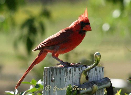 cardinalb07-10-11.jpg