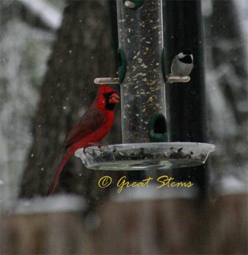 cardinalchickadee02-23-10.jpg