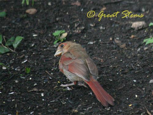 cardinalfledglingb06-04-10.jpg