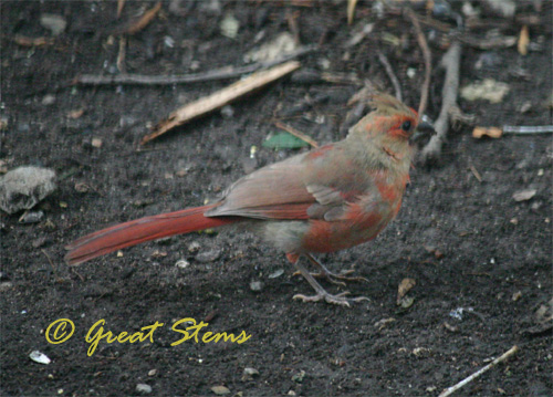 cardinalfledglingc06-04-10.jpg