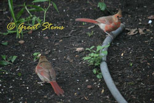 cardinalfledglings06-04-10.jpg