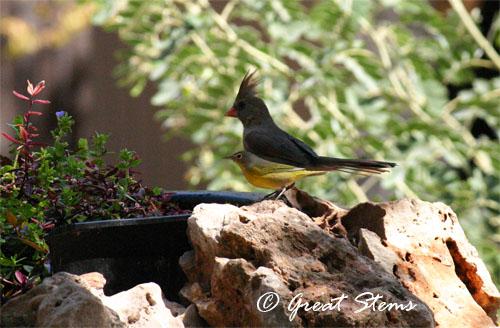 cardinalwarbler09-26-11.jpg