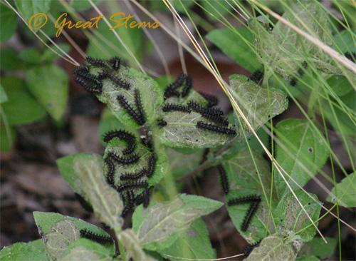 caterpillarsonhorseherb07-04-10.jpg