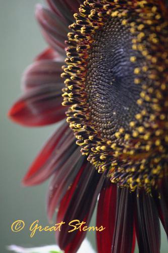 cinnamonsunflowerb06-24-10.jpg