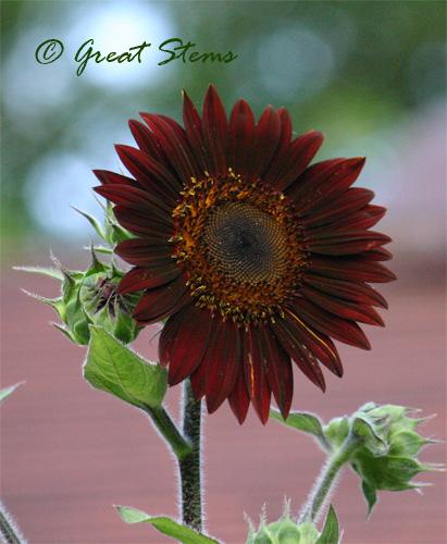 cinnamonsunflowerc06-24-10.jpg