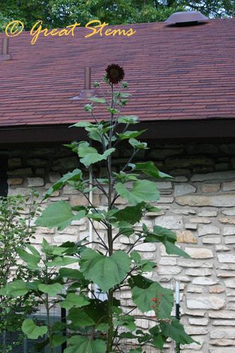 cinnamonsunflowerd06-24-10.jpg