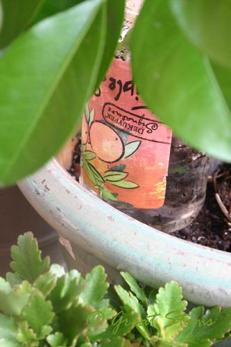 citrusd09-06-09.jpg