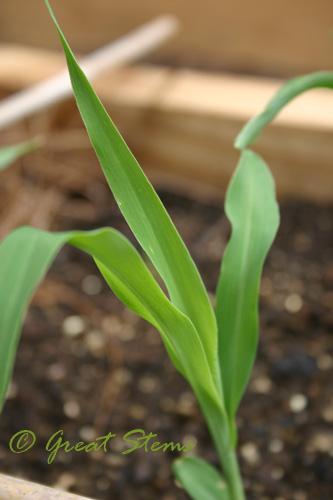 cornseedling08-07-09.jpg