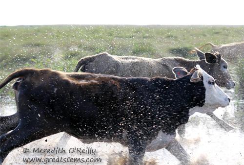 cowsb03-16-12.jpg