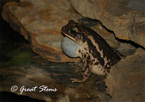 croakingtoad07-1-11.jpg