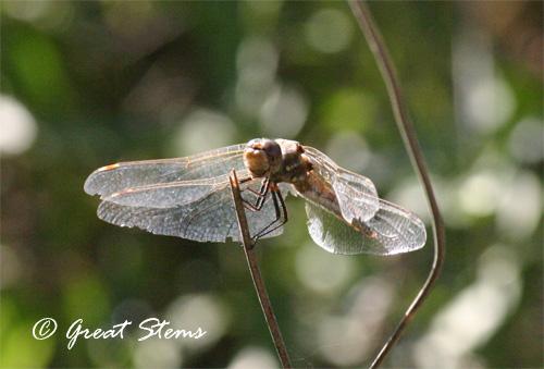 dragonflya11-10-10.jpg