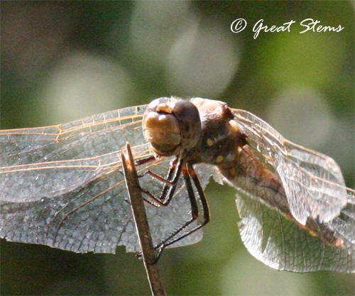 dragonflyc11-10-10.jpg