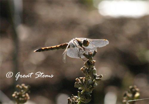 dragonflyd11-10-10.jpg