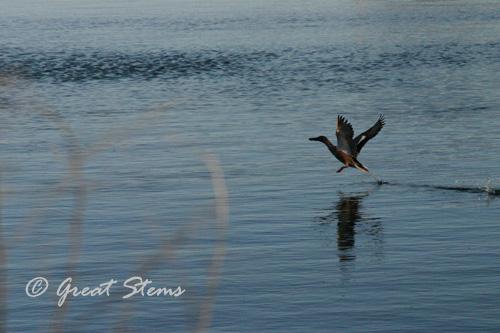 ducka01-22-11.jpg
