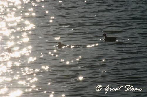 duckb01-22-11.jpg