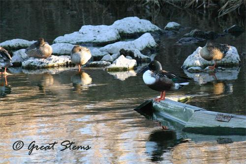 duckd01-22-11.jpg